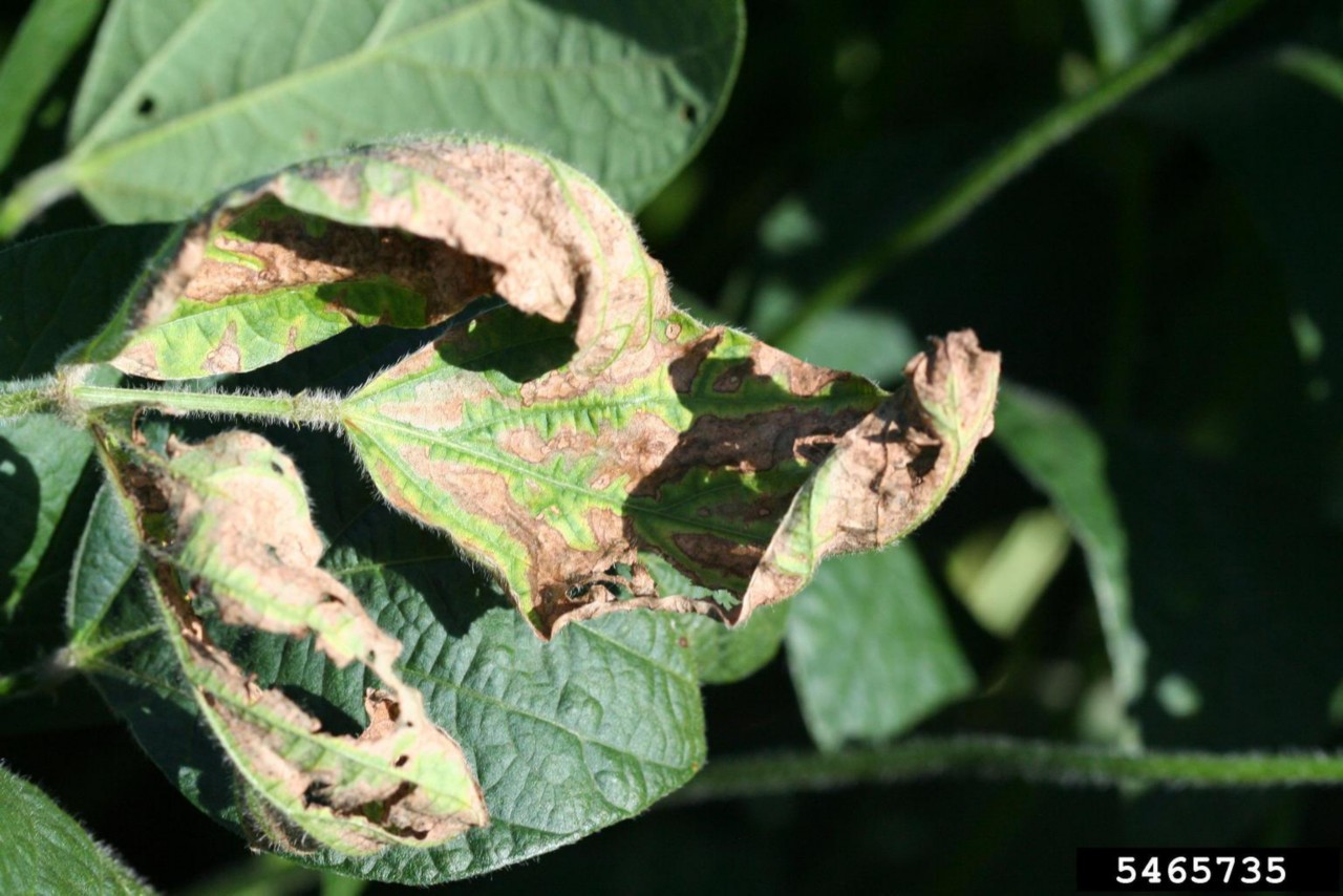 Sclerotinia Stem Rot (White Mold) Leaf